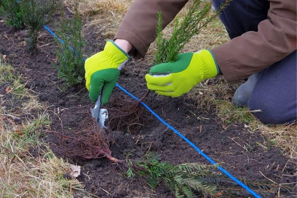 Hoe en wanneer Taxus haag planten aanplanten