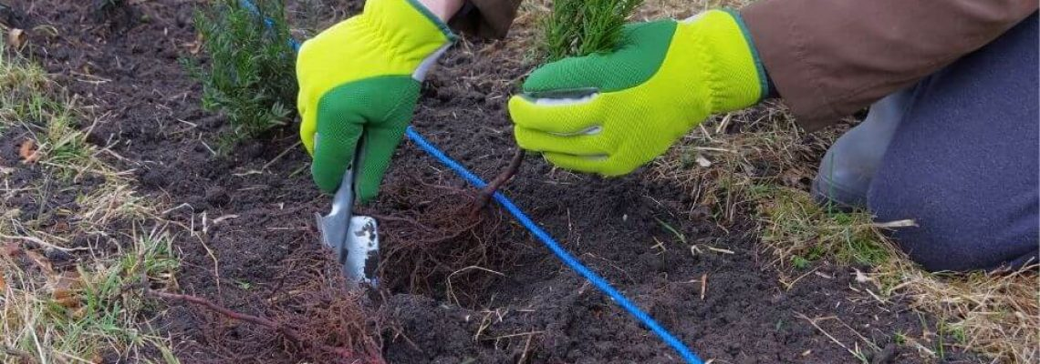 Hoeveel Taxus planten per strekkende meter